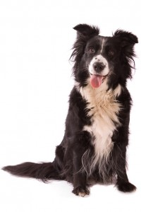 Collie Health Issues