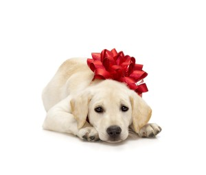 Labrador Retriever Health Issues