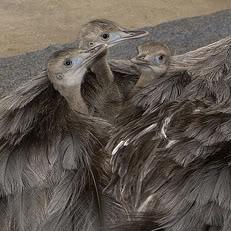 Animal Father's Rhea - ARKanimalsCom